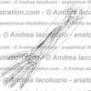 127- Muscolo Flessore lungo pollice – Musculus Flexor pollicis longus – Flexor pollicis longus Muscle