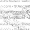 128- Muscolo Flessore lungo pollice – Musculus Flexor pollicis longus – Flexor pollicis longus Muscle