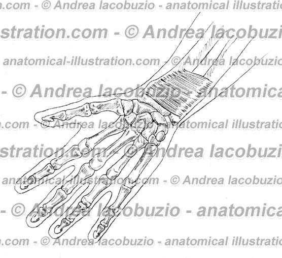 130- Muscolo Pronatore quadrato – Musculus Pronator quadratus – Pronator quadratus Muscle