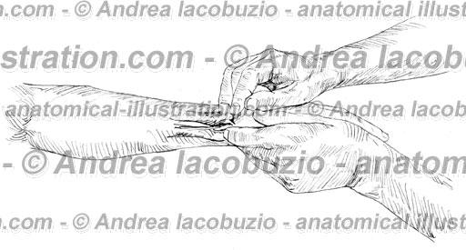 131- Muscolo Pronatore quadrato – Musculus Pronator quadratus – Pronator quadratus Muscle