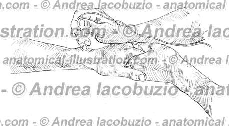 132- Muscolo Pronatore quadrato – Musculus Pronator quadratus – Pronator quadratus Muscle