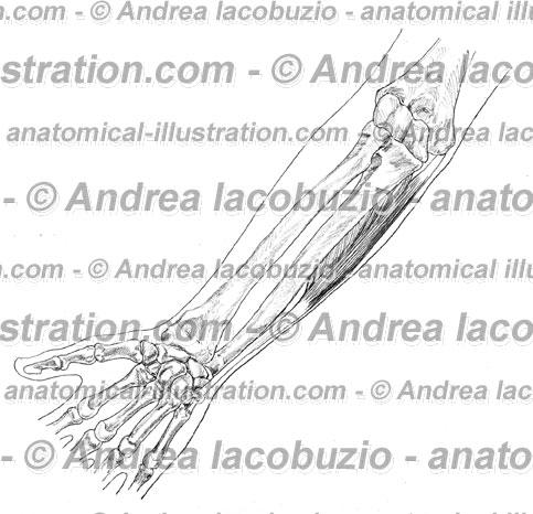 135- Muscolo Flessore ulnare carpo – Musculus Flexor carpi ulnaris – Flexor carpi ulnaris Muscle