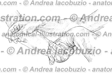 137- Muscolo Flessore ulnare carpo – Musculus Flexor carpi ulnaris – Flexor carpi ulnaris Muscle