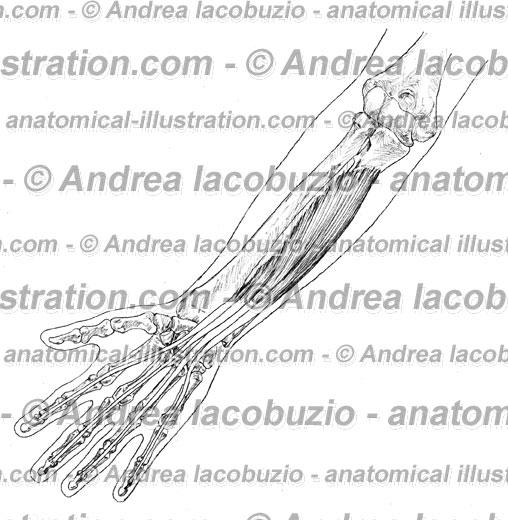 138- Muscolo Flessore profondo dita – Musculus Flexor digitorum profundus – Flexor digitorum profundus Muscle