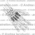 151 – Muscoli Interossei dorsali – Musculi Interossei dorsales – Dorsal interossei Muscles